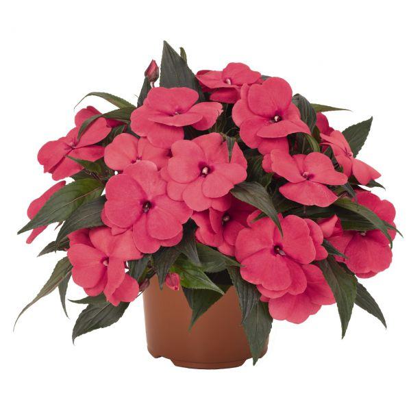 impatiens-n-g-magnum-hot-pink-3830076761546EDFBFCE1-B1E7-9EFF-DD50-BDE1DF12B3E9.jpg