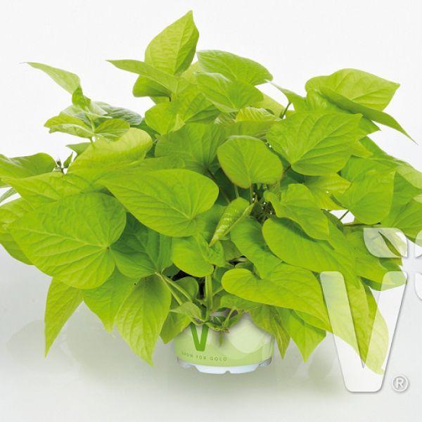 ipomoea-batatas-papas®-light-green-heart-38300767618054C20E261-4614-DE4C-439D-F7F0E79EE4A0.jpg