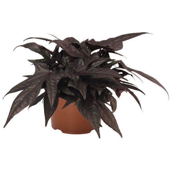 ipomoea-floramia-black-3830076761928306C4647-054E-4543-840A-7C0F567E8B9E.jpg