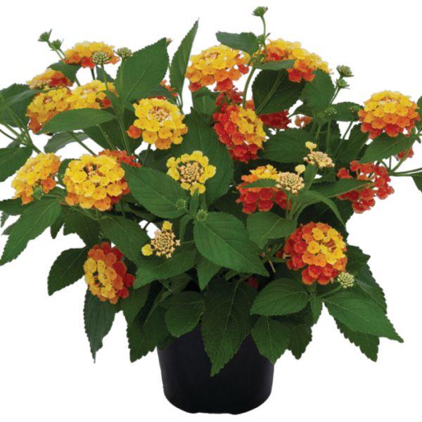 lantana-camara-bloomify-mango-3830076761959AD2E31FA-DA68-FC35-CCDF-11F747CB30B3.jpg