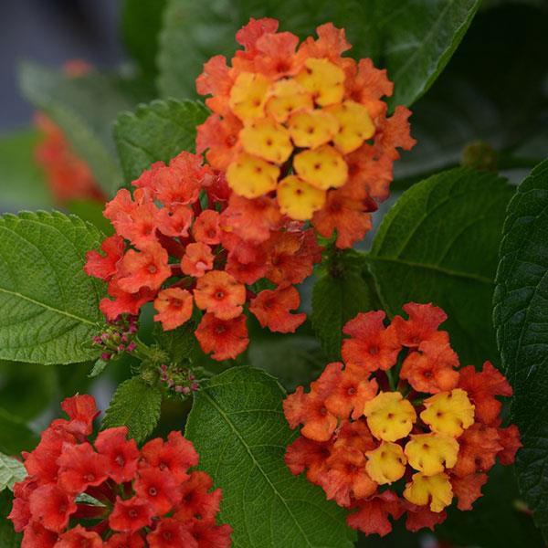 lantana-camara-bloomify-red-38300767619665E40C7E4-2422-FB08-CE5F-6BDA6C964BF0.jpg