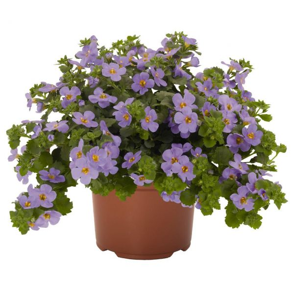 bacopa_blue4b80b3f8-eb05-5939-11d9-78fb5a3837271FD9D7DD-B347-A5E8-A734-86E01728E10B.jpg