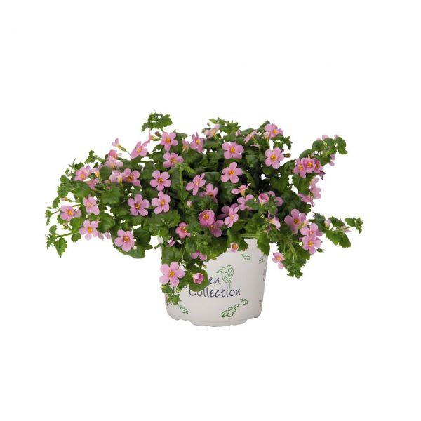 bacopa_pink5ced2c38-0647-9cac-367d-0335432dccf32E856C64-1CAF-59AD-E291-C216942C62B0.jpg