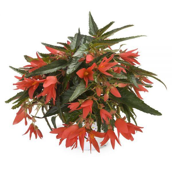 begonia-beauvilia-dark-salmonp423ca0f8-4978-875b-b152-ae6f81dffb5eB2C49D80-D686-B260-A316-100BC06BF36F.jpg