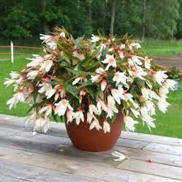 begonia-bonaparte-white85cb2a4e-27d4-a1ac-2d0b-dede07a3dbf7F9EFBFB4-2351-BB8D-3989-41B63DE0DF81.jpg