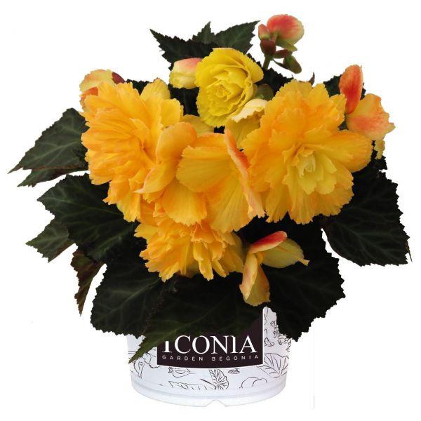 begonia-iconia-portofino-citrix54667324-3764-5b99-1e10-ccca3576e5c385618C91-8E48-1EE0-9560-DAF2916A7C00.jpg