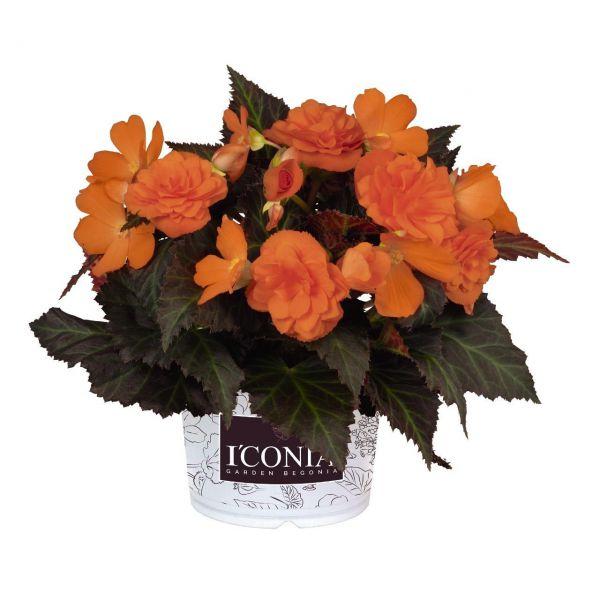 begonia-iconia-portofino-orangef29c8e09-aaa6-8a3b-2a14-61a0d5c15d7c510101C7-3B5B-079C-E327-81CA30AC348E.jpg