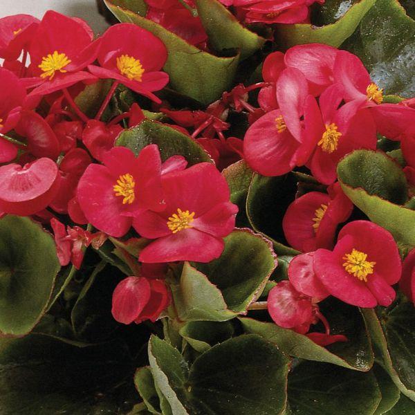 begonia-semp-juwel-f1-rosee031d306-8a3d-6181-7eb5-02bf01fc9881480FC8A8-06EF-F55A-988E-5C97EAABE2AC.jpg