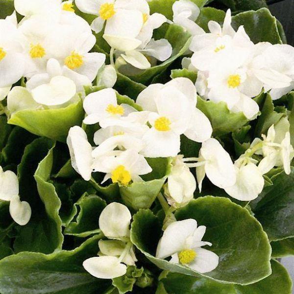 begonia-semp-juwel-f1-white0e8f59cf-9203-e36d-ae13-81c1354782fe48422790-0EC3-0F7E-663A-5DAC70902980.jpg