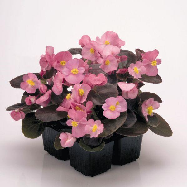 begonia-semp-new-globe-f1-rosedec18092-f0da-d24d-ae00-ba518cf0a545E9B9477B-38B2-0E2D-5ACE-232738F732F8.jpg