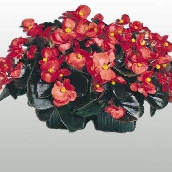 begonia-semp-new-globe-f1-scarlet6c474887-9886-6d9e-d769-d8528cc3606d24D21316-23FC-0A5C-C9D3-5F67889F17B2.jpg