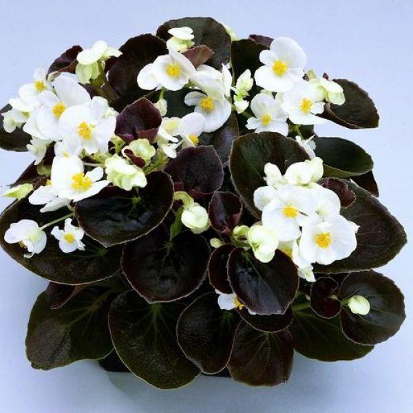 begonia-semp-new-globe-f1-white1379e1b5-2362-20f9-4fe7-41c58c5f0eaa177A2859-6A57-B3DE-2649-70F8906A0BB6.jpg