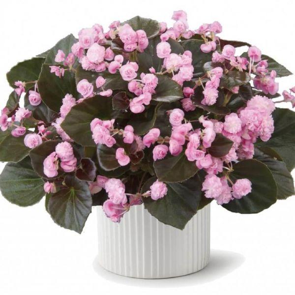 begonia-semp_doublet-pink4f8be4c4-5d86-9927-44aa-7db15da9c20c5ED1C9F7-47A5-1933-6917-AD753403A6CB.jpg