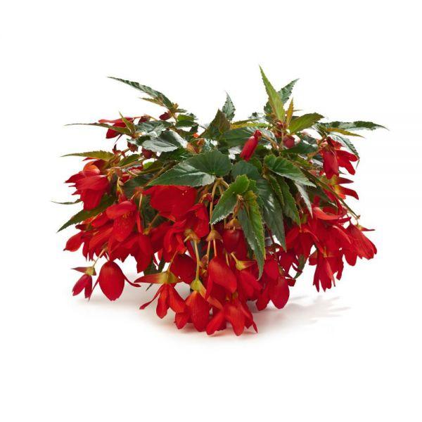 begonia-waterfalls-encanto-red5572566d-c1e3-09b4-0644-3c5d05bbeb4f12A78876-EB71-33E9-04A5-7062A310F7D3.jpg