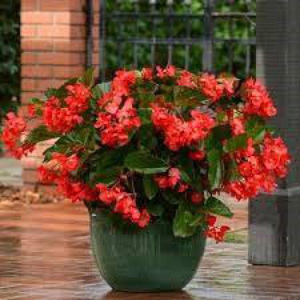 begonia-x-hyb-megawatt-red-green-leaf427193fd-122d-66ed-754b-628037ea3f1403DBF356-A443-69DF-02DC-B4F151FE804D.jpg