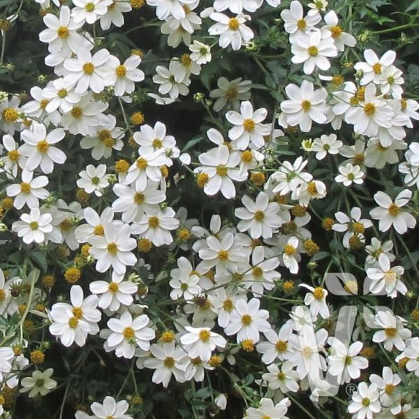 bidens-ferulifolia-bellamy-white1c50751e-52a6-6e76-b138-7cf053ef05a40AD9FE1D-0361-5830-F811-7E8B9E4A6F7B.jpg