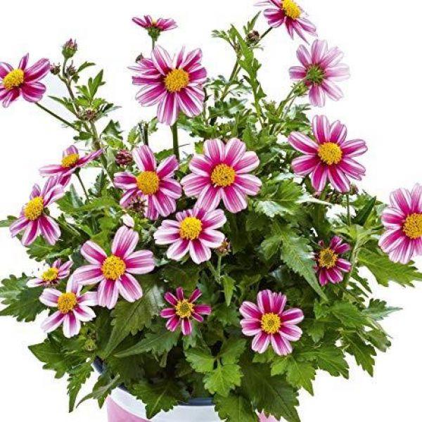 bidens-ferulifolia-pink-princessb703f293-26c3-6a61-1308-327b2b143c8a107AF25D-8CFD-E652-7480-B6745DB18358.jpg