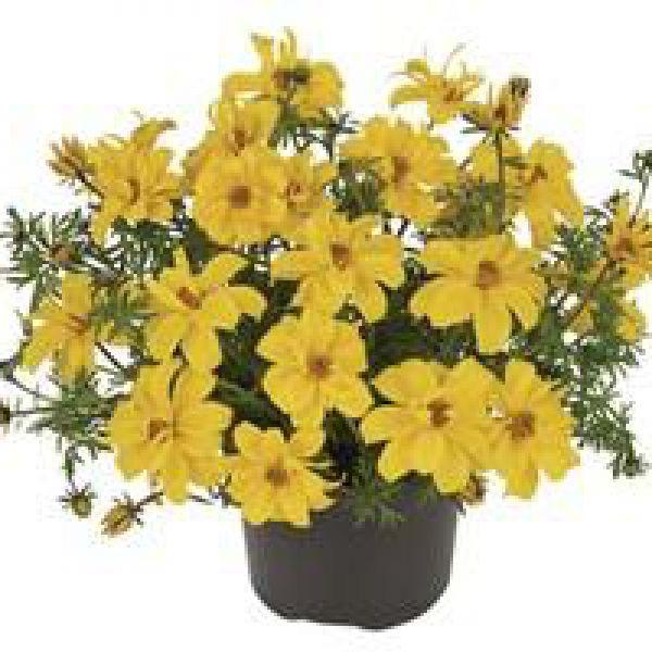 bidens-ferulifolium-sixbi-gold5d03d3ae-7cfb-57ef-6eac-c53c22da579c8280AE6B-724F-5113-5C64-E685C3D0FED8.jpg
