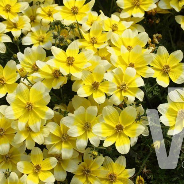 bidens_ferulifolia_taka_tuka_s_white-yellow1221b180-6a14-8d79-8adb-8ce99fd10e5a3769640E-A259-AE3A-66BD-F29DCFD8EE53.jpg