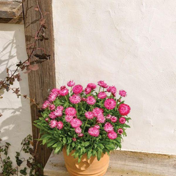 bracteantha-dreamtime-jumbo-rose-pinke0a53dc2-fab5-5d70-0947-3a132b5e9b4a84F9E87A-B46D-4193-BDD1-0982AAD8F399.jpg