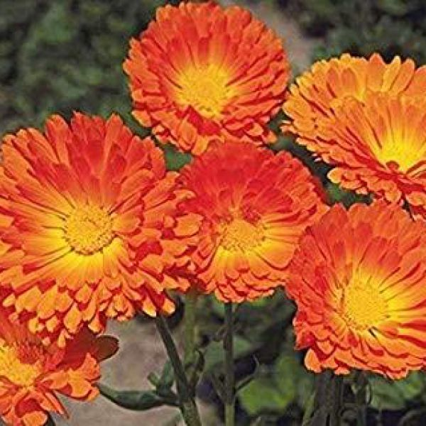 calendula-officinalis-little-ballorangef5e56475-b8d8-20ca-2e87-e4f04a473e5b6C4B91DC-98B2-CCE1-7FAB-9450265A27DC.jpg