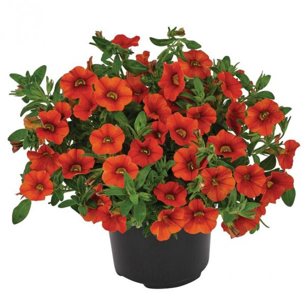 calibrachoa-cabaret-deep-orange8d5d8c1f-5dde-e4b5-e144-a84cf011cf59BB17B94F-3909-49BB-0A94-DAE269087131.jpg