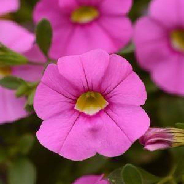 calibrachoa-cabaret-light-pink-impr7c196025-ea6a-80eb-41d3-7156d9726d000723F6DB-4EC1-FCED-9C5F-CA962A3BA230.jpg