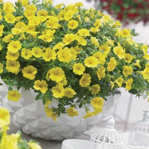 calibrachoa-cabaret-pure-yellow87260ed9-d1ee-a3de-2a08-9b482ccaed9d1D510A8B-A2C1-AD20-52F3-DE4AAB82DB43.jpg