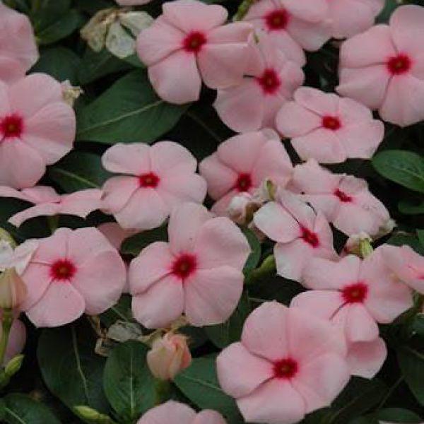 catharanthus-ros-titan-f1-apricot08f8d280-d2e4-2fa6-52d0-598f1352abeb724BC7CD-9BFC-25EB-76F1-F983CA9BEEBC.jpg