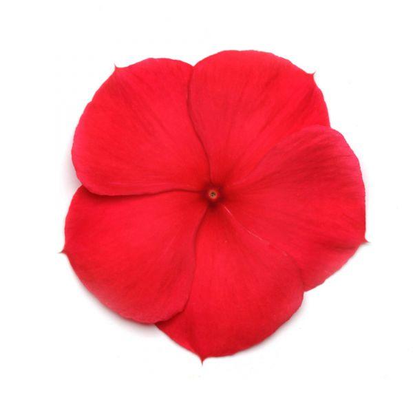 catharanthus-ros-titan-f1-dark-redb69ac33e-6901-3271-47a4-ea828e162f2fC179B0E9-9ABE-87B2-9194-548CB6857091.jpg