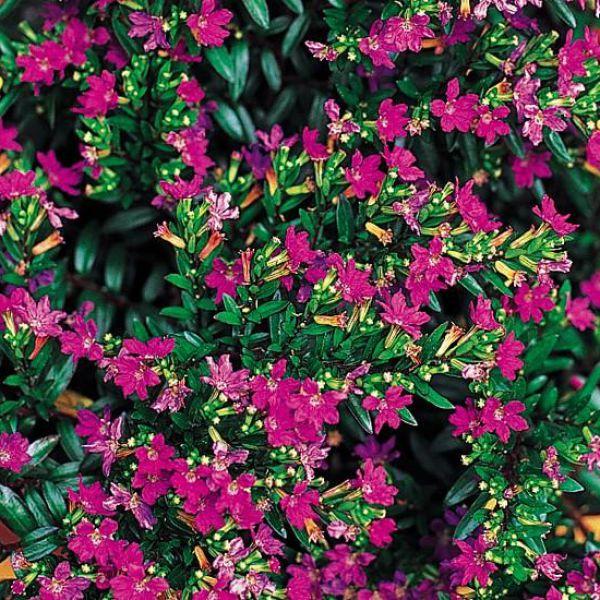 cuphea-hyssopifolia-purple838929a3-2cb3-9a94-fdc4-3ea93768e19059AACF86-7A93-775C-92B0-459A7DBFEC83.jpg