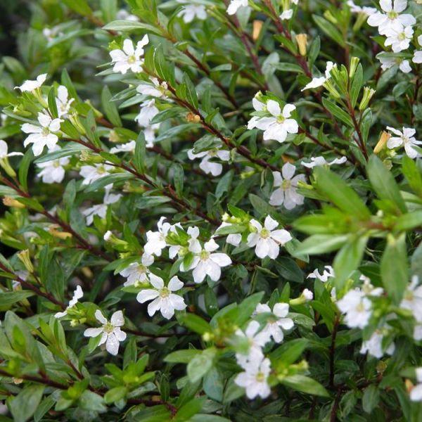 cuphea-hyssopifolia-white9a738da9-8a65-43eb-a649-abc23443ae03E828B3D0-EBAE-AD46-774F-58D025922D1B.jpg