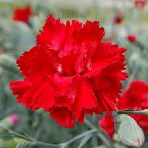 dianthus-lady-in-red52fabf08-4cde-bcbd-cabd-98850d069f038C464CAB-B98F-76A3-5B7B-D59F7FD2DB5B.jpg