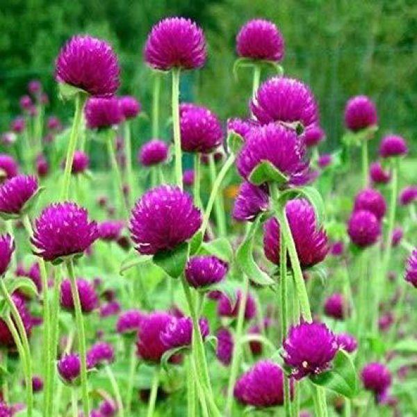 gomphrena-globosa-holly-violet2fa64207-26ee-4ad0-e90c-edc26878201a10DD6005-77E9-0F38-F404-BFB1FF61C68E.jpg