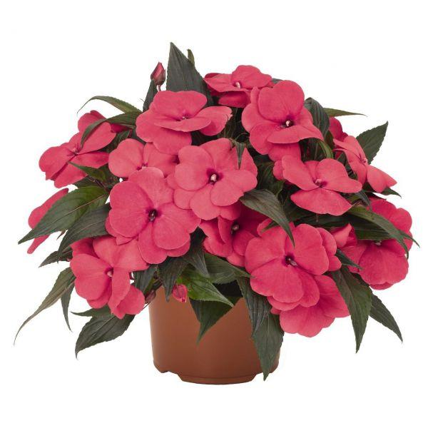 impatiens-ng-magnum-hot-pink63bbecfc-0fb0-b0b6-a079-1f9f9b61886399F996E4-1CA9-7D3B-DCA9-CB4E04D9C442.jpg