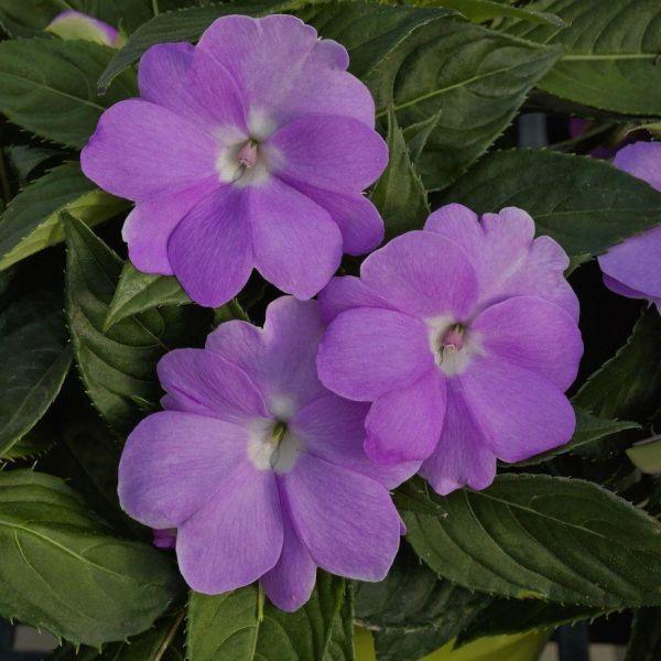 impatiens-ng-sunpatiens-compact-orchid2d86c554-d661-62e2-df1b-1a6fa2db0e38B6B1EA77-A40F-AFA3-0EE9-129728925422.jpg
