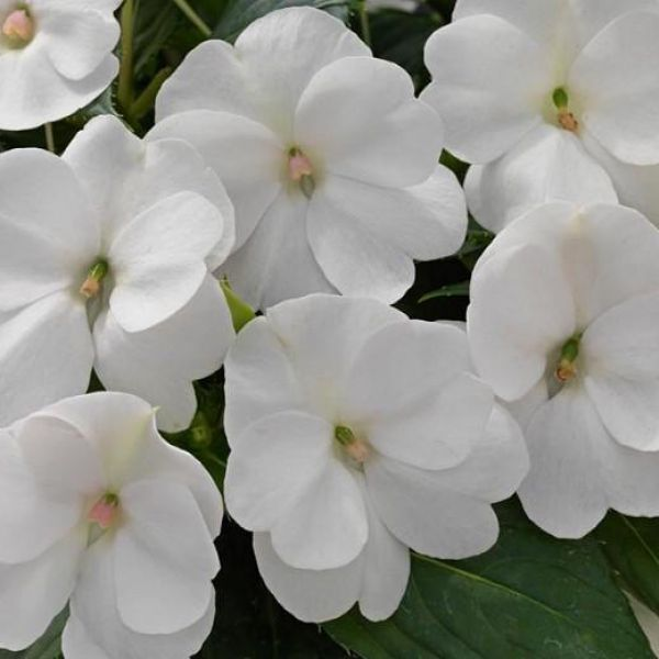 impatiens-ng-sunpatiens-compact-whited7a11f9e-78f8-325d-3a82-15d5d2aa0af2277A4BC2-EE9F-C104-B708-9E8ECC6CE877.jpg