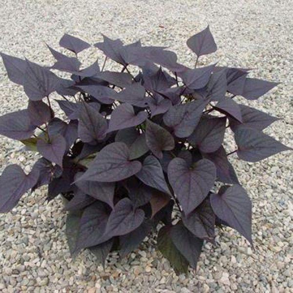 ipomoea-batatas-papas-basket-black-heart094dd844-acad-2d48-a400-d1720639f07eC22C989B-7922-5A52-4C07-C58F710D7568.jpg