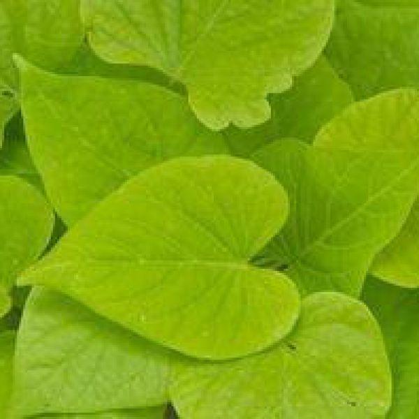 ipomoea-batatas-papas-light-green-heart154d298e-5542-fb47-30e4-79eec2a58af75F573AAB-0A59-D1BC-B542-7E07F3BBA278.jpg
