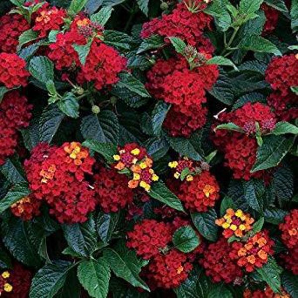 lantana-camara-bloomify-red15d9a22f-9756-a5af-34b1-2b3823c37a996EC31B45-1BC7-46F1-A72B-5B60152808BC.jpg
