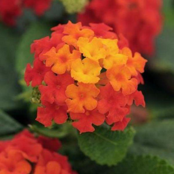 lantana-camara-lucky-red-flame-red-orange3fb29a60-5e66-9ef3-b986-71251cc7448eDF4DF135-B278-32D0-D112-904AB3AFEE5F.jpg