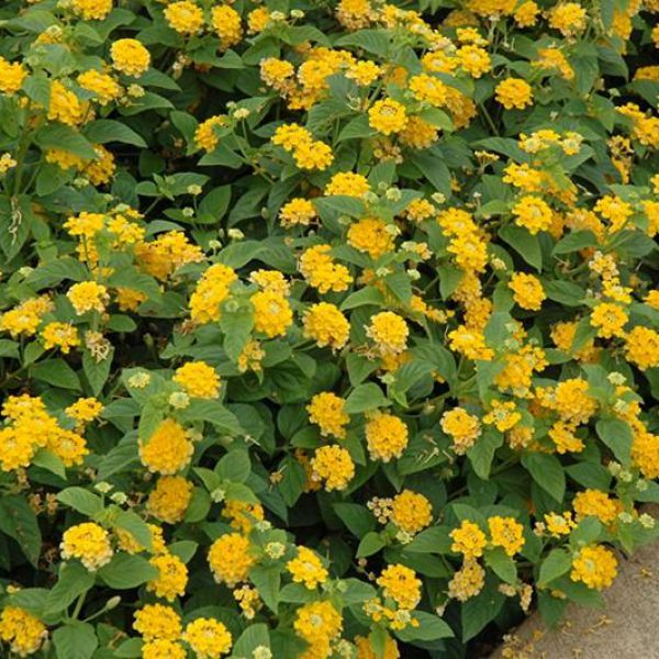 lantana-camara-lucky-yellow4ee366f2-fe96-1e5c-c424-d8602804863eC89D4CAF-7B20-7E8E-A03A-445519A76F5F.jpg