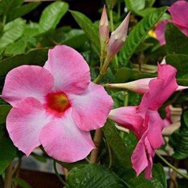 mandevilla-sv-pink5febe1b2-01c2-605e-c64e-828e524b4fbb9CACA9BF-F4F5-6419-BF9D-2DAA6E268C18.jpg