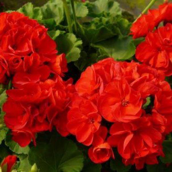 pelargonium-calliope-l-dark-red23a5759f-04ad-8f0f-a6f6-949faf67797bFC988291-16DE-8558-2F10-BA55B67FBF5E.jpg