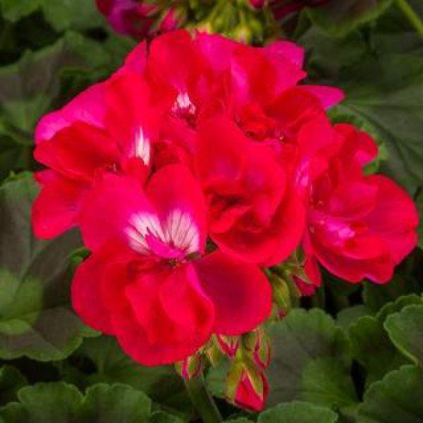 pelargonium-calliope-m-hot-rose-exp41d73bb1-9b6e-50f6-3ab7-8737b6d76351FEE3EFC6-8190-8B84-81BF-EA84F5B26334.jpg