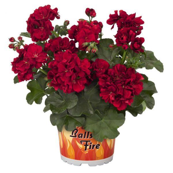 pelargonium-pelt-great-balls-of-fire-dark-redd6a5a14d-81ed-efeb-f736-5a3979d749c41426CDFE-C8CC-1CEC-8668-F23EA04A34E4.jpg
