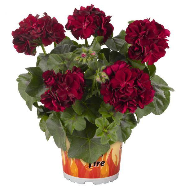 pelargonium-pelt-great-balls-of-fire-merlot27ecf3fb-6da4-9b1e-85fb-59304cc042c121670EBC-7619-A9F9-4227-97A161CDE8DE.jpg