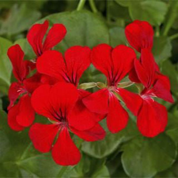 pelargonium-peltatum-dark-red-blizzard218f191b-a9dc-fe79-b48b-581945102d606577C936-D75C-A3CD-E1A4-1893251E197F.jpg