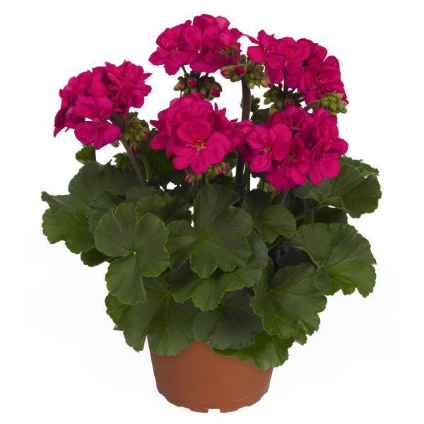 pelargonium-zon-candy-idols-violetB902E8AB-2F4B-029A-3B37-8249A16BF3CC.jpg
