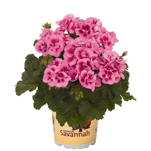 pelargonium-zon-savannah-pink-mega-splashFA8F142F-C096-38AA-7FEE-DFF7F3515F43.jpg